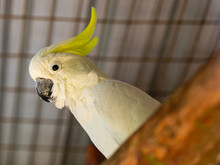 The Citron-crested Cockatoo (C...