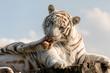 Tygrys bengalski biały (Panthera tigris tigris). White bengal tiger.