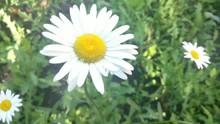 Daisy Flower. Zoom.