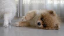 Cute Pet Pomeranian Dog Animal...