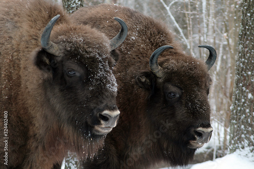 Photo Herd of European bison (Bison bonasus) mourn their dead cub in winter forest of