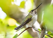 Female Anna Hummingbird Sitting In The Tree