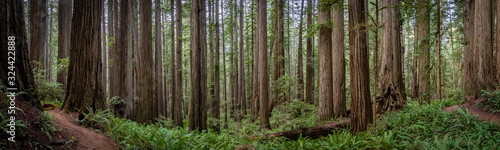 Fototapeta Wide angle view of hiking trail winding through massive redwood trees at Jededia