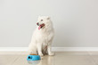 Cute Samoyed dog and bowl with food near light wall