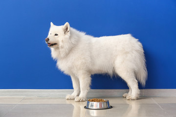 Cute Samoyed dog and bowl with food near color wall
