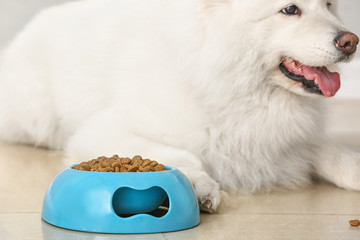 Cute Samoyed dog near bowl with food at home