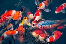 Colorful Japanese Koi Fish