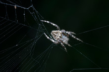 Argiope Web Spider