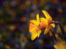 Two Yellow Daffodil Flowers On...