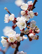 canvas print picture Apricot flowers on a background of blue sky in spring