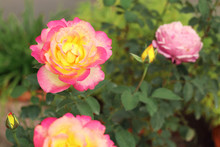 Close Up Of Beautiful Bouquet Of Pink Roses In The Garden With Blurred Background.