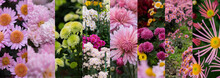 Collage Of Photos Of Chrysanth...