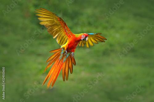 Obraz na płótnie Red hybrid parrot in forest