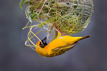Building Nest. African Southern Masked Weaver, Ploceus Velatus, Build The Green Grass Nest. Yellow Birds With Black Head With Red Eye, Animal Behaviour In The Habitat. Wildlife Nature, Etosha, Namibia