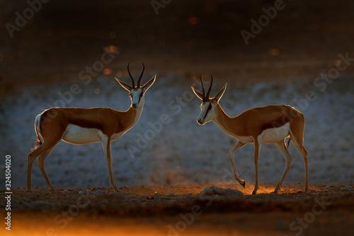 Photo Springbok antelope, Antidorcas marsupialis, in the African dry habitat, Etocha NP, Namibia