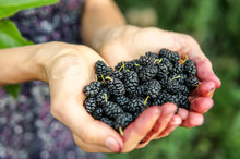 Mulberry In Woman Hands Over Green Natural Background. Woman Is Showing Of Fresh Picked Berries In Her Hands, And Hands Are Dirty From Juicy Ones