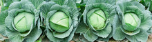 Green Cabbage In Growth At Veg...