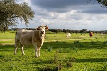 Vacas Y Toros En El Campo Al A...