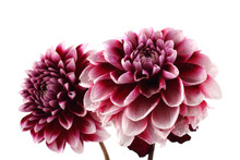 Growing Dahlia Flowers