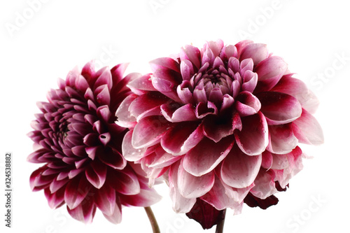 Slika na platnu Growing dahlia flowers