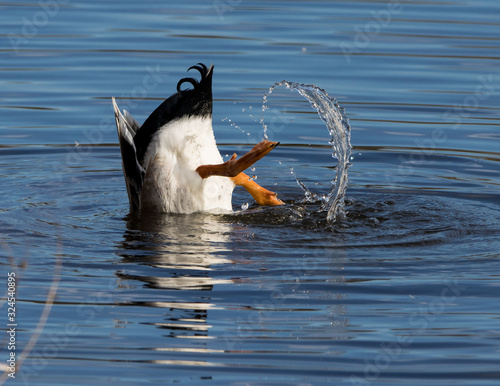 Mallard duck diving for food Fototapeta