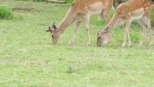 Two Deers Eating Grass Near A ...
