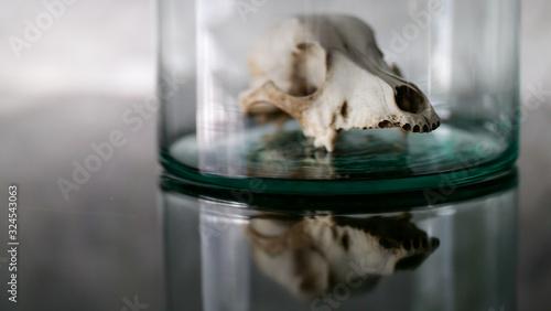 Fototapeta animal skull in a glass jar