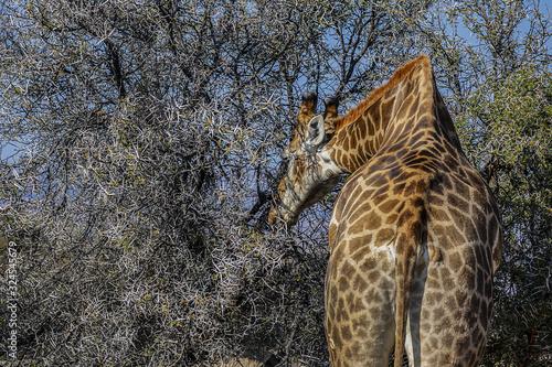 Photo African Giraffe (Giraffa camelopardalis) in South Africa