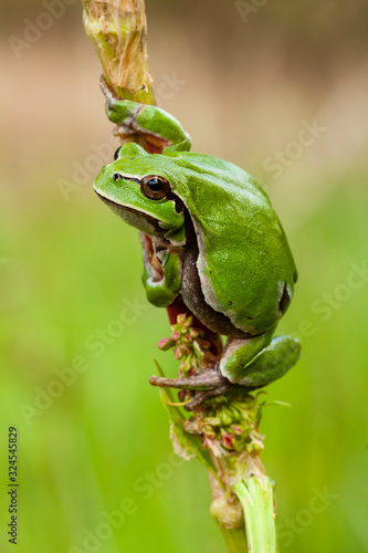 European tree frog, Hyla arborea, perched in a reed on a uniform green background Canvas Print