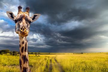 FototapetaPortrait of an amusing giraffe
