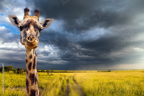 Portrait of an amusing giraffe Canvas Print