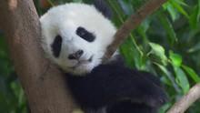 Little Panda Snugly Settles Do...