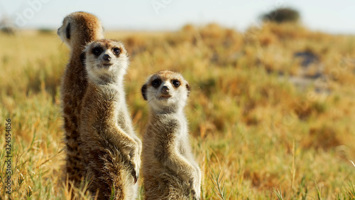 Fototapeta A beautiful meerkat is watching arround wildlife