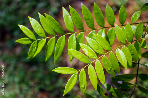 Photo Tongkat Ali / Eurycoma Longifolia