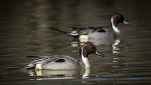 Pintail Duck At Huntley Meadow...