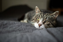 Cute Aged Cat Lying On Bed At ...
