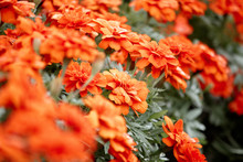 American Marigold, Beautiful I...