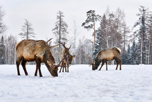 Three Maral Deers Graze In A C...