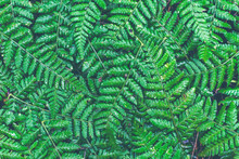 Fern Leaves Close Up Of Natura...