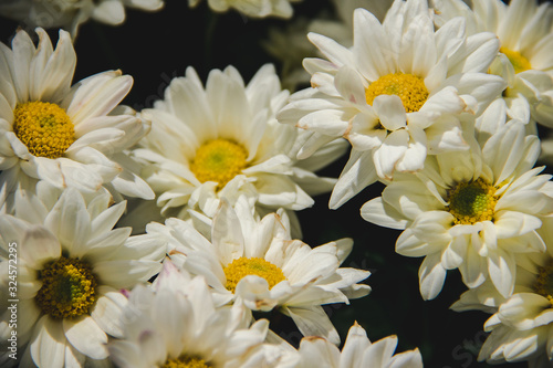 White Chrysanthemum, chrysanthemum, beautiful shape, colorful, easy to plant Canvas Print
