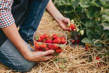 Farm Worker Picking Strawberry...