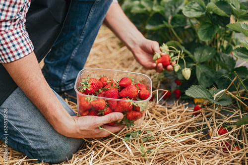 Photo Farm worker picking strawberry in field