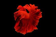 Beautiful Fighting Fish Isolat...
