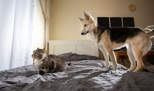 Unhappy Cat With Dog On Bed At...