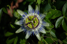 Passion Fruit Flower In Its Natural Habitat