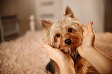 Yorkshire Terrier Dog Portrait Indoors With Owner Caressing His Head