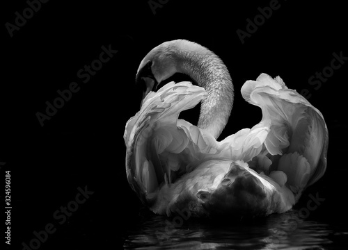 Cuadros en Lienzo a swan swims in the lake