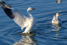 Snow Goose Stretching Its Wing...
