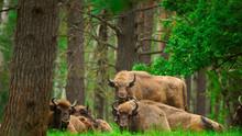European Bison (Bison Bonasus) Captured In Oka Nature Reserve, Russia