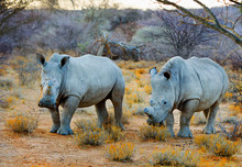 Two White Rhino's (Ceratotherium Simum) Standing In The Dry African Bush In Namibia.  White Rhinos Are A Threatened Species, Although The Population Is Increasing Slowly.